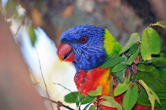 Australian Rainbow Lorikeet. Curious colourful Australian rainbow lorikeet parrot feeding in a tree Royalty Free Stock Photography