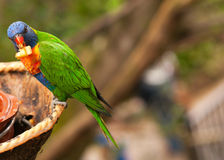 Australian rainbow lorikeet eating fruits. Australian rainbow lorikeet is eating fruits with background for text Royalty Free Stock Photos