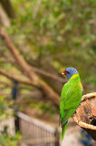 Australian rainbow lorikeet eating fruits. Australian rainbow lorikeet is eating fruits with background for text Stock Photo