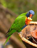 Australian rainbow lorikeet eating fruits. Australian rainbow lorikeet is eating fruits Stock Image