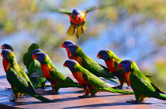 Australian Rainbow Lorikeet. Flock of Native Australian Rainbow Lorikeets gathering together Stock Image