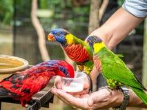 Australian Rainbow Lorikeet on a human hand Stock Images