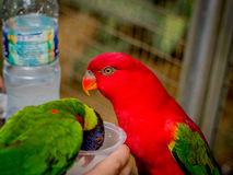 Australian Rainbow Lorikeet on a human hand. Australian Rainbow Lorikeet, Trichoglossus moluccanus, on a human hand drinking milk Stock Photos
