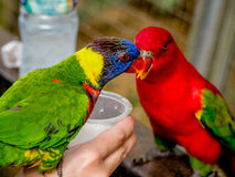 Australian Rainbow Lorikeet on a human hand. Australian Rainbow Lorikeet, Trichoglossus moluccanus, on a human hand drinking milk Stock Photo