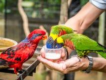 Australian Rainbow Lorikeet on a human hand Royalty Free Stock Image