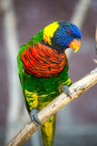 Australian Rainbow Lorikeet. S. Australia beautiful bird on branch in nature surrounding Stock Photo