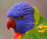Australian Rainbow Lorikeet. Rainbow Lorikeet, a multi-colored bird from Australia Royalty Free Stock Images