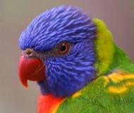 Australian Rainbow Lorikeet Royalty Free Stock Images
