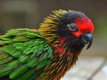 Australian Rainbow Lorikeet. Rainbow Lorikeet, a multi-colored bird from Australia Stock Photo