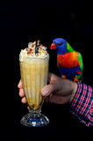Australian Rainbow Lorikeet. A Native Australian Rainbow Lorikeet sits on a persons hand and drinks a milkshake. Isolated on black background. copy space Royalty Free Stock Photo