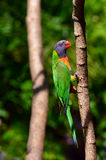 Australian Rainbow Lorikeet. One Native Australian Rainbow Lorikeet sits on a tree Stock Image