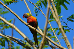 Australian Rainbow Lorikeet. One Native Australian Rainbow Lorikeet sits on a tree Royalty Free Stock Photography