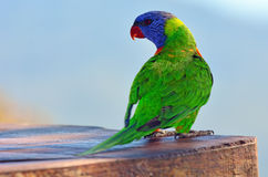 Australian Rainbow Lorikeet. One Native Australian Rainbow Lorikeet sits on a tree Stock Photography