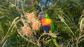 Australian rainbow lorikeet perched on a banksia bush. A sharp portrait of an Australian rainbow lorikeet perched in a native Australian banksia bush Royalty Free Stock Images