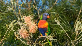 Australian rainbow lorikeet perched on a banksia bush. A sharp portrait of an Australian rainbow lorikeet perched in a native Australian banksia bush Royalty Free Stock Photo