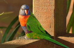 Australian Rainbow Lorikeet. An australian rainbow Lorikeet perched on wood looking at the camera Royalty Free Stock Image