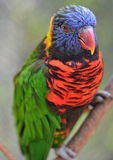 Australian rainbow lorikeet,queensland, australia. Australian rainbow lorikeet, queensland, australia beautiful bird Stock Image