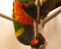 Australian Rainbow Lorikeet. Silly lorikeet hanging upside down Royalty Free Stock Images