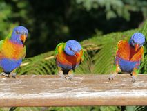 Australian rainbow lorikeet. Three Colorful rainbow lorikeet (Trichoglossus haematodus) in Australia with a tree fern in the back Stock Image