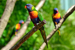 Australian Rainbow Lorikeet. Three native Australian Rainbow Lorikeet sit on trees Royalty Free Stock Photo