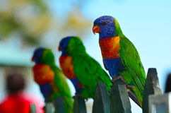Australian Rainbow Lorikeet. Three native Australian Rainbow Lorikeet sits on a wooden fence Royalty Free Stock Photos
