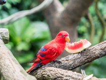 Australian Rainbow Lorikeet, Trichoglossus moluccanus, eating watermelon. Close up Royalty Free Stock Photos