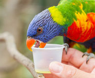Australian Rainbow Lorikeet, Trichoglossus moluccanus. On a human hand Royalty Free Stock Photo