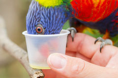 Australian Rainbow Lorikeet, Trichoglossus moluccanus. On a human hand Stock Photos