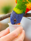 Australian Rainbow Lorikeet, Trichoglossus moluccanus. On a human hand Royalty Free Stock Photography