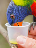 Australian Rainbow Lorikeet, Trichoglossus moluccanus. On a human hand Stock Photo
