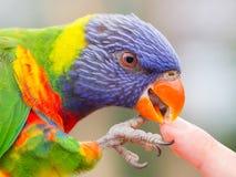 Australian Rainbow Lorikeet, Trichoglossus moluccanus Stock Photography