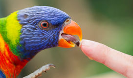 Australian Rainbow Lorikeet, Trichoglossus moluccanus. Licking a human finger Stock Photography