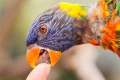 Australian Rainbow Lorikeet, Trichoglossus moluccanus Royalty Free Stock Image