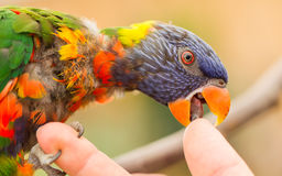Australian Rainbow Lorikeet, Trichoglossus moluccanus. Licking a human finger Royalty Free Stock Photo
