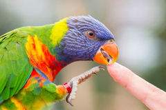Australian Rainbow Lorikeet, Trichoglossus moluccanus. Licking a human finger Royalty Free Stock Photos