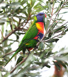 Australian rainbow lorikeet in tropical setting. Australian rainbow lorikeet feeding on bottlebrush, byron bay, australia. colorful parrot exotic bird in Stock Images