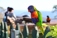 Australian Rainbow Lorikeet. Two native Australian Rainbow Lorikeet sit on a wooden fence Stock Images