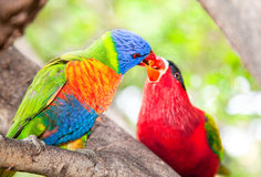 Australian rainbow lorikeets Stock Photos