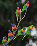 Australian rainbow lorikeets gathered on tree Royalty Free Stock Photos