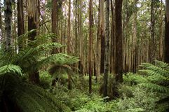 Australian rainforest. Tall gum trees and tree ferns of the australian rainforest Stock Images