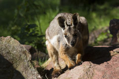 Australian rare Yellow-footed Rock-wallaby, Petrogale xanthopus xanthopus Stock Photos