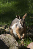 Australian rare Yellow-footed Rock-wallaby, Petrogale xanthopus xanthopus Stock Photo