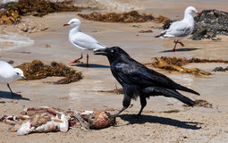 Australian raven with gains stock photography