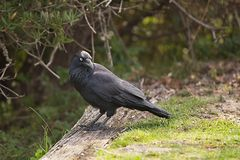 Australian raven in a park Stock Photography