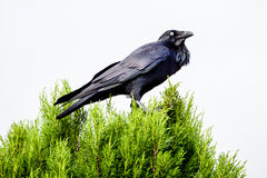 Australian Raven Perched on a Cyrpress Tree Royalty Free Stock Photos