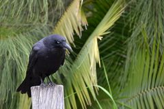Australian Raven. An Australian Raven perched on an old fence post Royalty Free Stock Photo