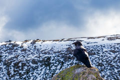 Australian Raven perching on a rock with snowy mountains in the Stock Photography