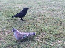 Australian Raven royalty free stock photos