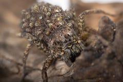 Australian Recluse Spider Royalty Free Stock Photo