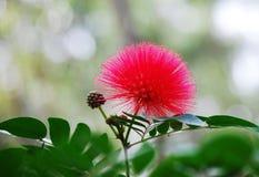 Australian red Acacia flower Royalty Free Stock Image